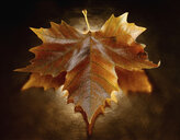 Still life of autumn maple leaf on copper background - CUF32481
