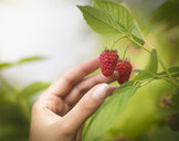 Hand picking raspberries in fruit farm, close up - CUF32805