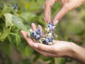 Picking blueberries on fruit farm, close up - CUF32808