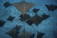 Underwater overhead view of spotted eagle rays casting shadows on seabed, Cancun, Mexico - ISF11664