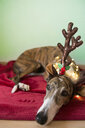 Portrait of Greyhound wearing deer antler headband - SKCF00514
