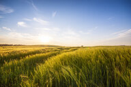 United Kingdom, Scotland, East Lothian, field of barley, Hordeum vulgare - SMAF01022