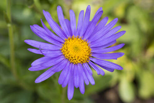 Alpine aster, close-up - WIF03527