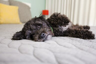 Portrait of dog lying on bed - ISF12929