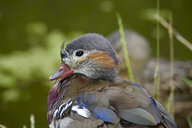Portrait of Mandarin duckling - JTF01020