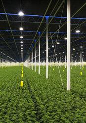 Greenhouse specialised in growing Chrysanthemums, Ridderkerk, zuid-holland, Netherlands - ISF14314