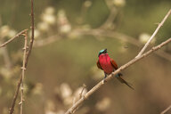 Southern Carmine Bee-eater - Merops nubicoides, Mana Pools National Park, Zimbabwe, Africa - CUF34471