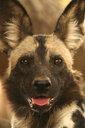 Wild dog - Lycaon pictus, Mana Pools National Park, Zimbabwe - CUF34495