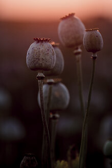 Poppy plants, Papaver somniferum, seed vessel, in the evening light - NOF00027