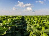 Serbia, Vojvodina. Green soybean field, Glycine max - NOF00029