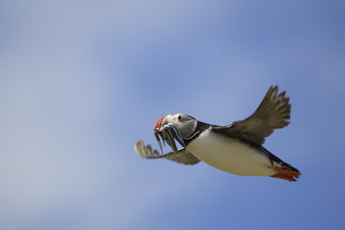 Atlantic Puffin (Fratercula arctica) in flight with fish in mouth, Farne Islands, Northumberland, England - CUF35803