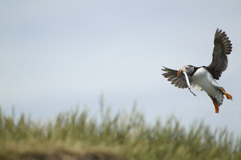 Atlantic Puffin (Fratercula arctica) in flight with fish in mouth, Farne Islands, Northumberland, England - CUF35815