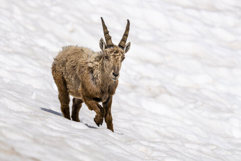 Switzerland, Ticino, alpine ibex, Capra ibex - STSF01669