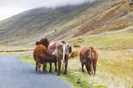 United Kingdom, England, Cumbria, Lake District, cattle lactating next to the road on Wrynose Pass - WPEF00549