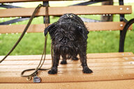 Portrait of a wet dog standing on park bench in rain - ISF14947
