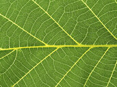 Close-up of a green leaf, leaf veins - EJWF00890