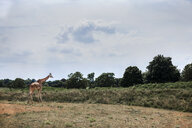 Giraffe in field, Cotswold wildlife park, Burford, Oxfordshire, UK - CUF38504