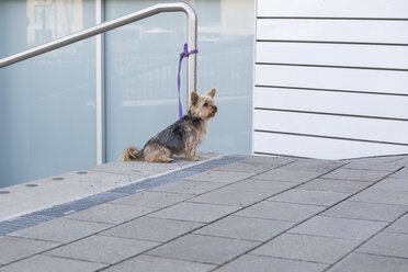 Yorkshire Terrier waiting outdoors - JUNF01062