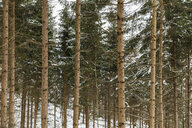 Austria, Innsbruck, forest of snow-covered fir trees - WPEF00565