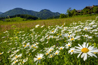 Germany, Bavaria, Upper Bavaria, Ruhpolding, Chiemgau Alps, Obergschwend, flowering marguerites, Untern Mountain in the background - LBF02007