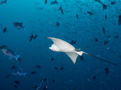 Maledives, Spotted eagle ray, Aetobatus narinari, and fishes - TOVF00110