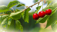 Three cherries on tree - MHF00437