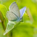Blue butterfly on leaf - MHF00440