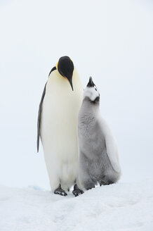 Antarctica, Antarctic Peninsula, Snow Hill Island, adult and chick Emperor Penguin - RUEF01880