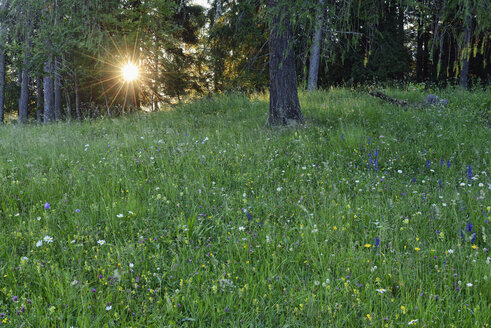 Italy, Dolomites, Cortina d´Ampezzo, wild flower meadow at forest edge  by sunset - RUEF01898
