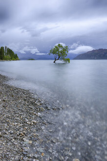 New Zealand, South Island, tree growing in Lake Wanaka - RUEF01913