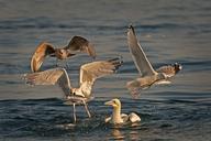 Seagulls fishing in water - CUF40265