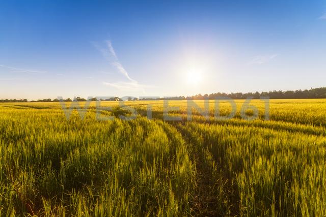 UK, Scotland, Midlothian, Barley field - SMAF01050