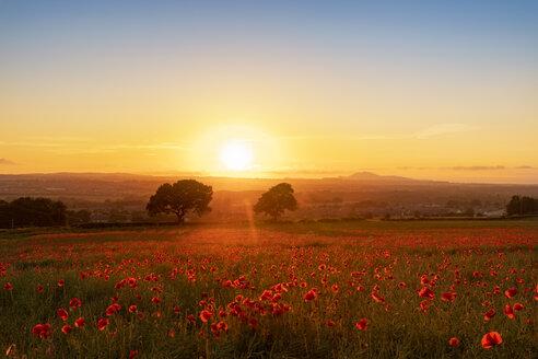 UK, Scotland, Midlothian, Poppy field at sunset - SMAF01053