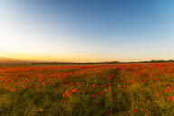 UK, Scotland, Midlothian, Poppy field at sunset - SMAF01056