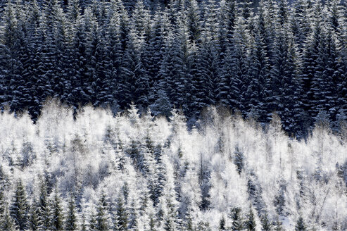 Hoar frost on forest - CUF41087