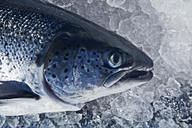 Close up head shot of hand reared fresh scottish salmon on ice - CUF41495