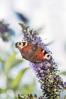 Peacock butterfly on a buddleja flower - IPF00463