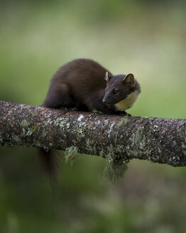 UK, Scotland, pine marten crouching  on tree trunk - MJOF01512