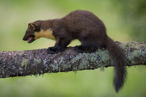 UK, Scotland, pine marten on tree trunk - MJOF01515
