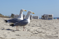 Germany, North Frisia, Sylt, Seagulls at the beach - GFF01089