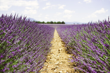 France, Provence, Valensole plateau, purple fields of blooming lavender in summer - GEMF02122