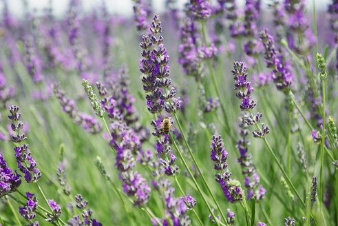 France, Provence, close-up of blooming lavender field in the summer - GEMF02146