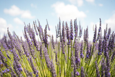 France, Provence, close-up of blooming lavender field in the summer - GEMF02155