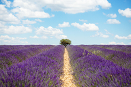 France, Provence, Valensole plateau, Infinite purple fields of blooming lavender in summer - GEMF02161