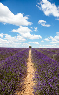 France, Provence, Valensole plateau, Infinite purple fields of blooming lavender in summer - GEMF02164