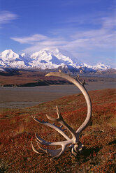 Tundra and caribou antlers in Denali National Park, Alaska in the fall. Mount McKinley in the background. - MINF00954