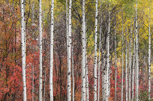 Aspen and maple trees in the fall. - MINF01465
