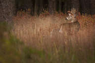 Male deer with antlers camouflaged in tall grass. - MINF01788