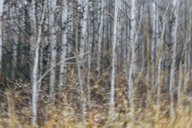An aspen forest in autumn.  Thin white tree trunks of the quaking aspen in low light with autumnal understory. - MINF02031
