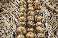 Onions in a row on a wooden tray. - MINF02058